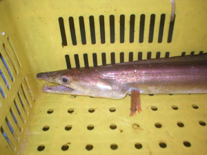 fish_hamo3