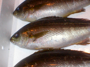 fish_isaki1